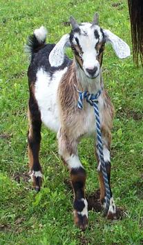 Cuzco the Goat is the tinypy mascot